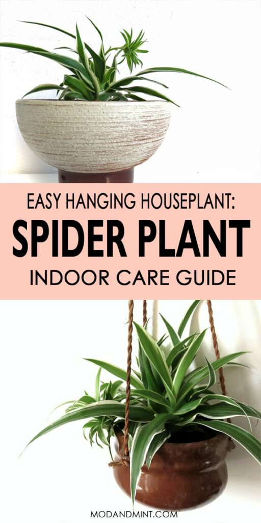 Easy hanging houseplant: spider plant indoor care guide.