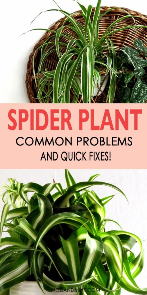 Indoor spider plant common problems and quick fixes!