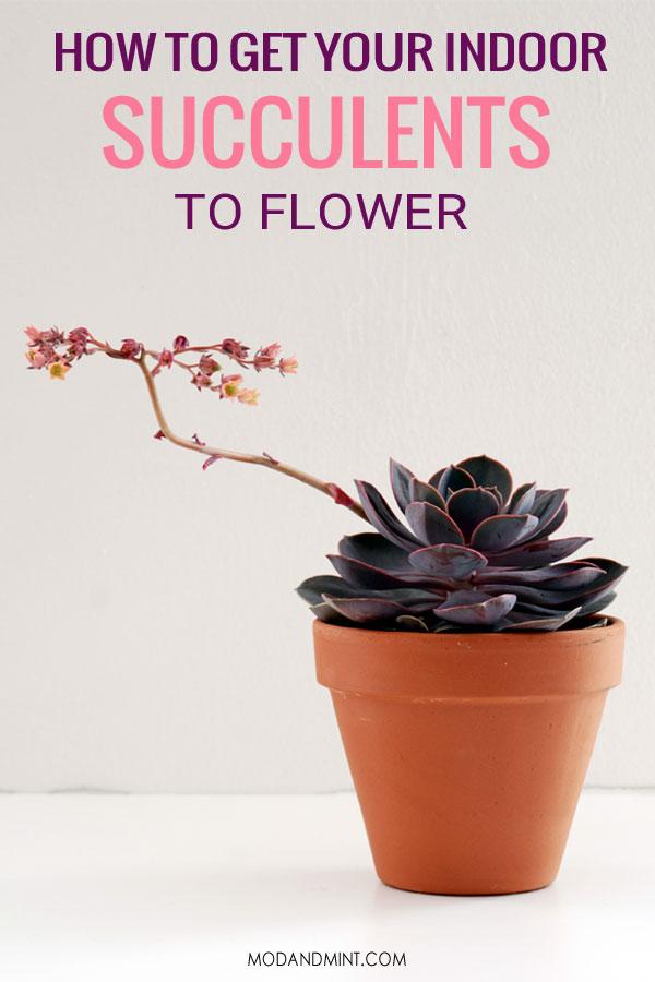 Purple echeveria in bloom. How to get your indoor succulents to flower.