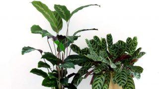 Indoor Prayer Plant Care Tips - Keep your Maranta, Calathea, or Ctenanthe alive