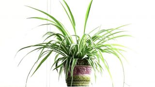 Spider Plant: How to Grow and Care for a Chlorophytum comosum