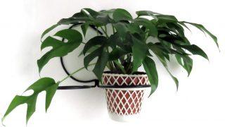 Indoor Rhaphidophora Tetrasperma Plant Care - Have you met the Mini Monstera?