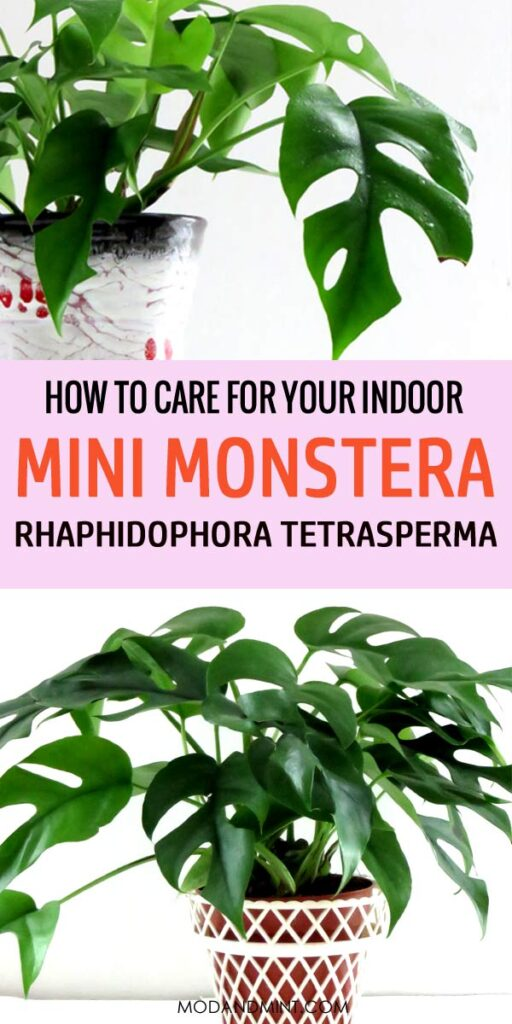 How to care for your indoor mini monstera - Rhaphidophora tetrasperma plants