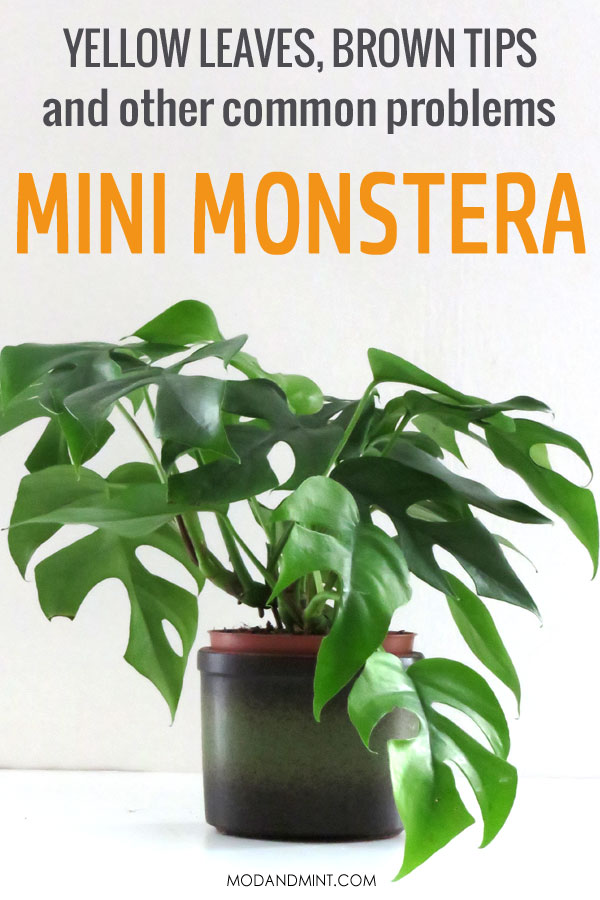 Yellow leaves, brown tips and other common problems with the mini monstera plant.