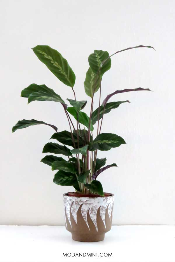 Tall Calathea Maui plant in vintage planter pot