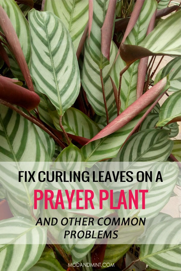Curling leaves on a prayer plant. How to fix this and other common problems.