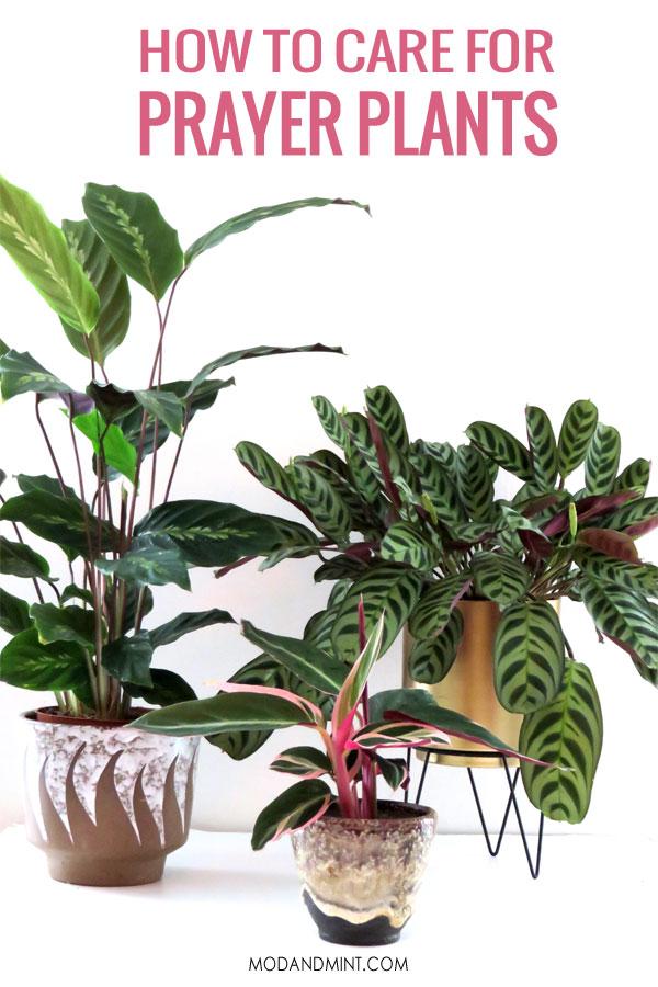 Calathea, Stromanthe, Ctenanthe How to care of indoor prayer plants
