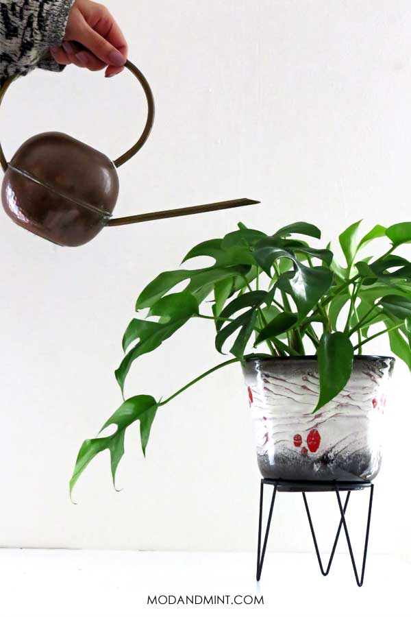 Watering a mini monstera plant with a vintage copper watering can.