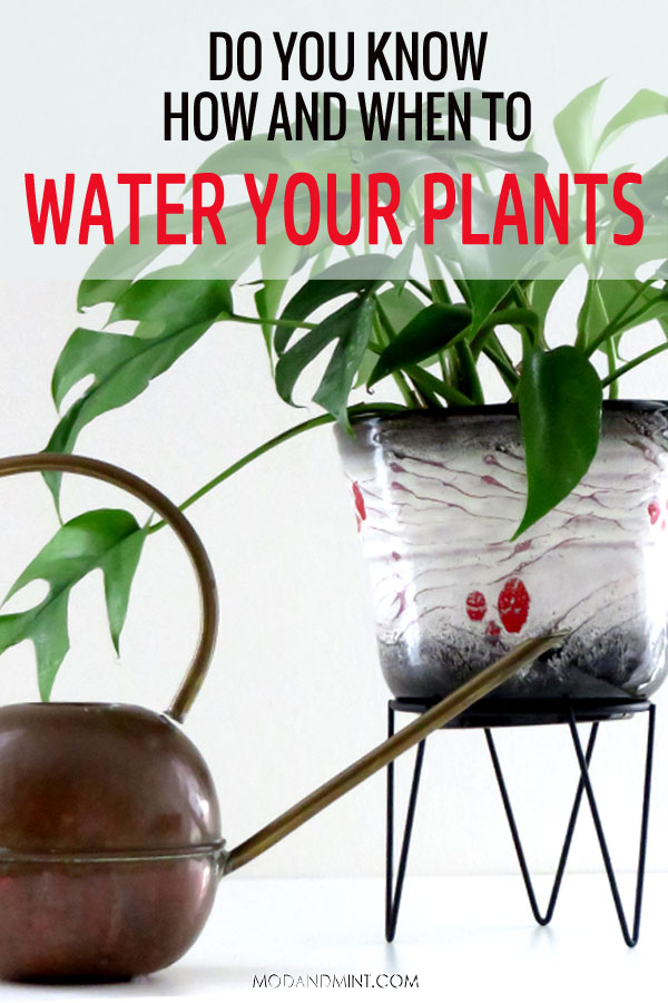 Do you know how and when to water your plants? Mini Monstera with vintage round brass watering can