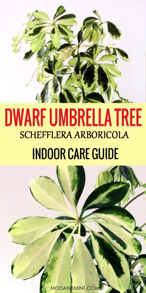 Dwarf Umbrella Tree - Schefflera arboricola indoor care guide.