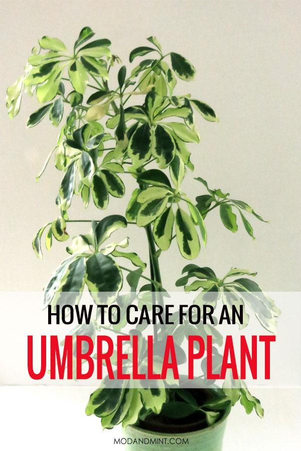 How to care for an Umbrella Plant. Variegated Schefflera arboricola.