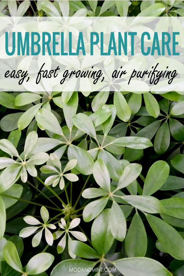 Green Schefflera arboricola plants. Umbrella plant care. Easy, fast growing, air purifying.