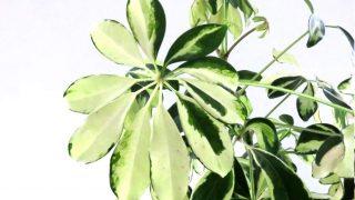 Indoor Schefflera arboricola Plant Care - Keep your Umbrella Tree happy