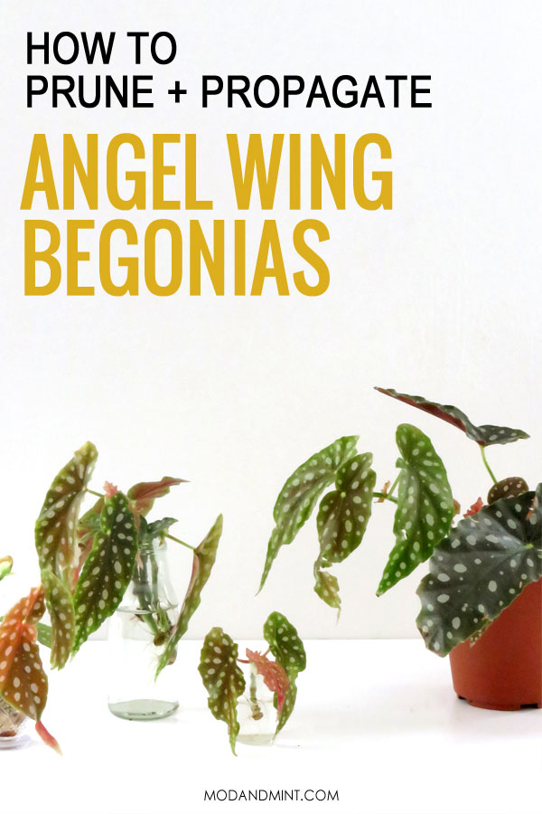 How to prune and propagate angel wing Begonias.