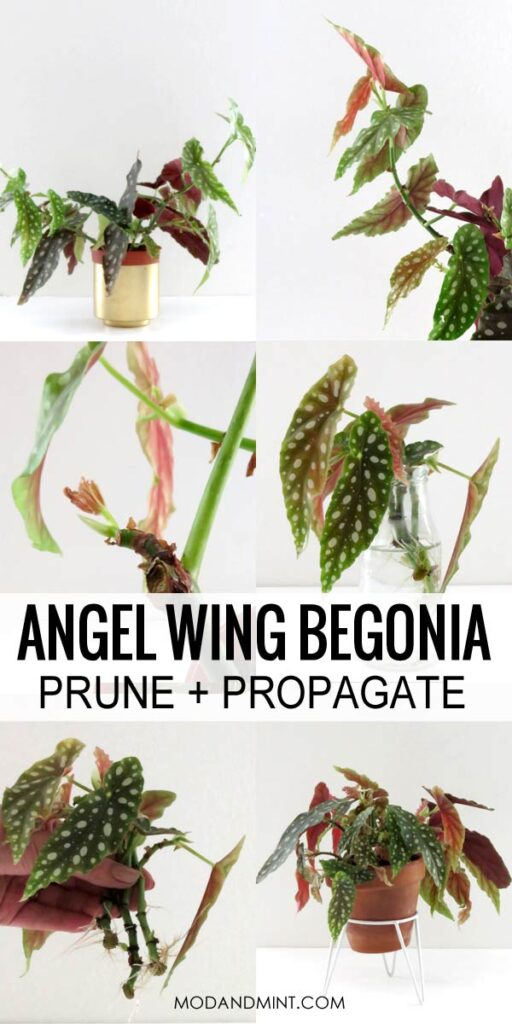 Prune and propagate angel wing Begonias. Step by step.