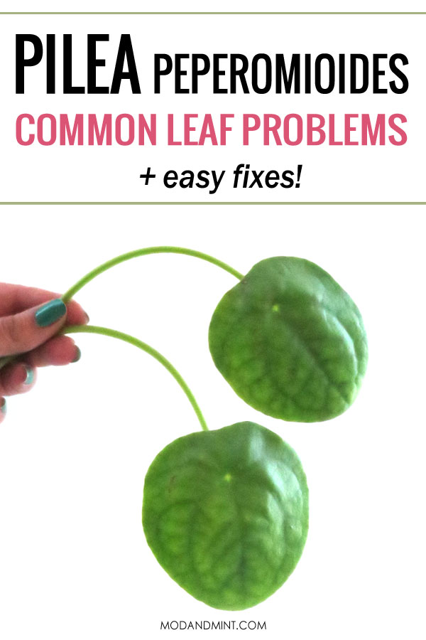 Pilea peperomioides common leaf problems and easy fixes!