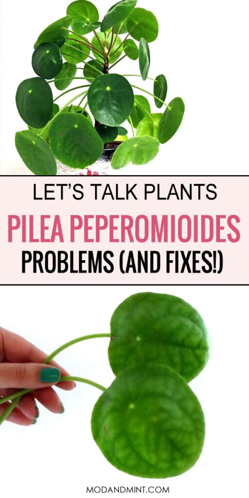 Let's talk plant. Pilea peperomioides problems and fixes.
