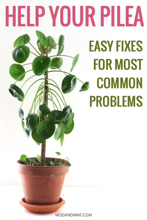 Help your Pilea. Easy fixes for most common problems.