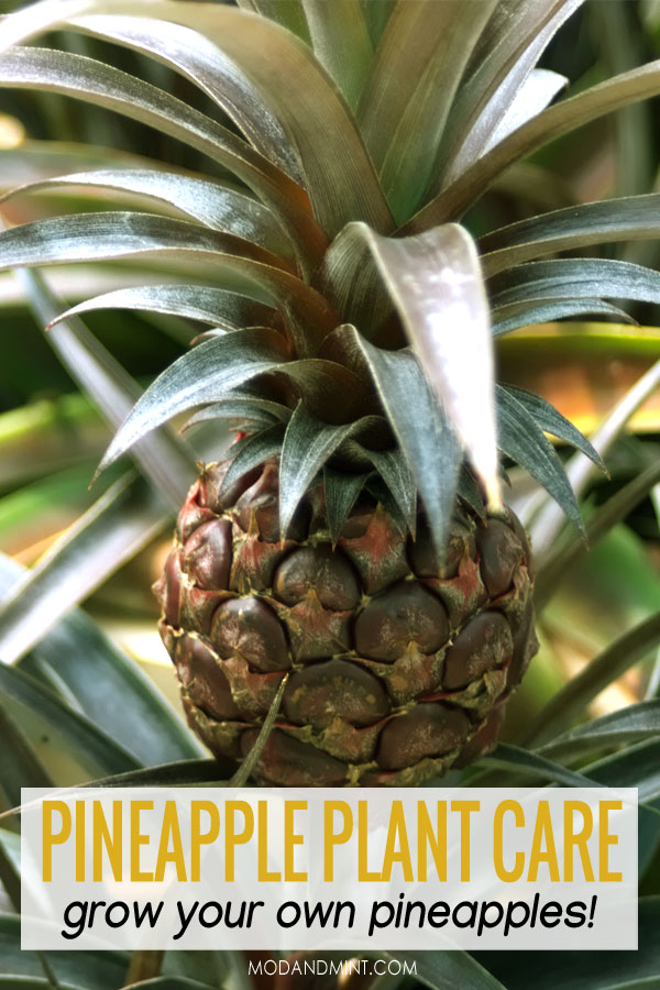 Pineapple plant care. Grow your own pineapples!