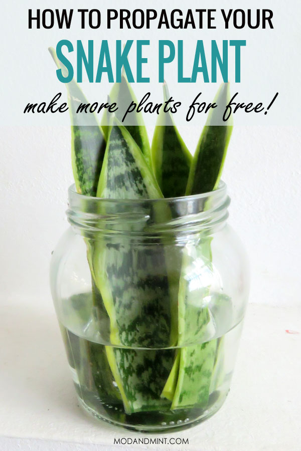 How to propagate your snake plant in water. Make more plants for free.