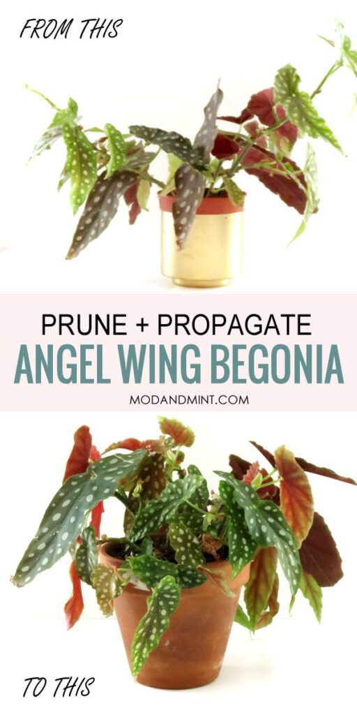 Prune and propagate angel wing Begonias. From leggy to bushy and compact.