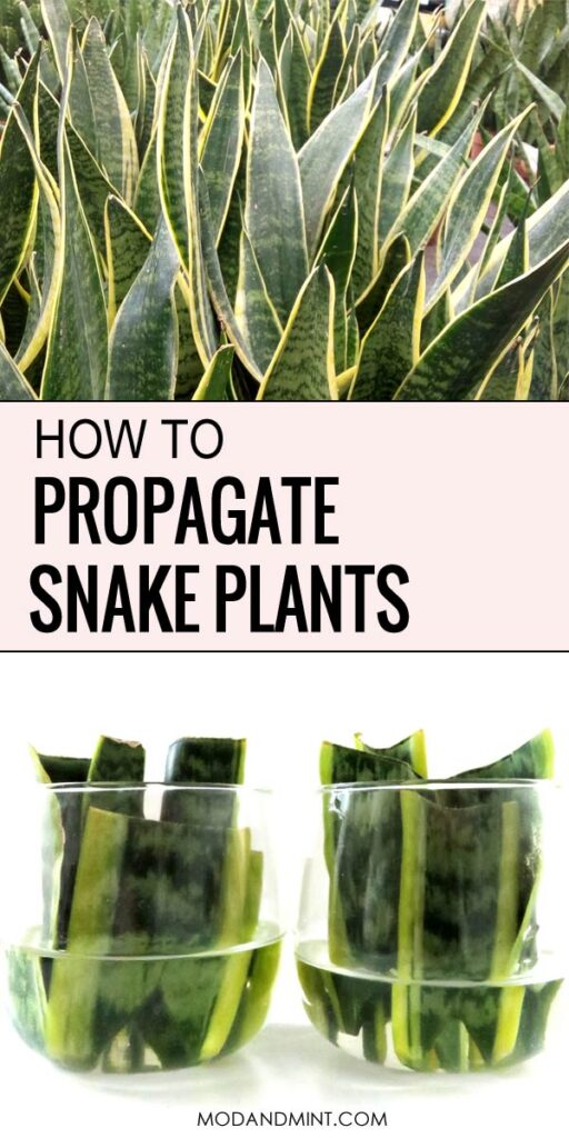 How to propagate snake plants.