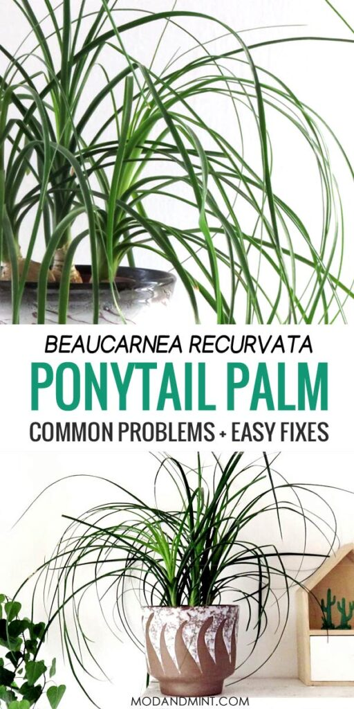 Beaucarnea recurvata ponytail palm common problems and easy fixes.