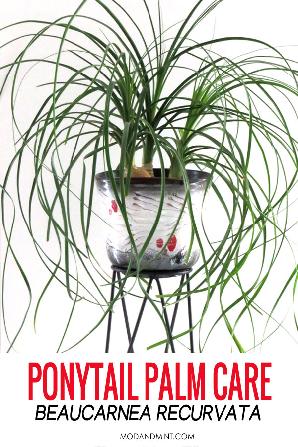 Ponytail palm, beaucarnea recurvata, in vintage pot on plant stand.